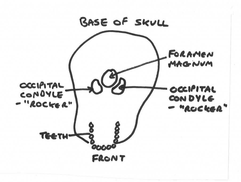 Base of Skull. Occipital condyles shown for head neck balance.